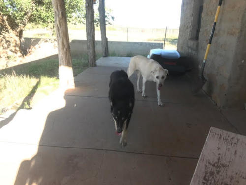 Ranch dogs Moses and Snare come for a visit.